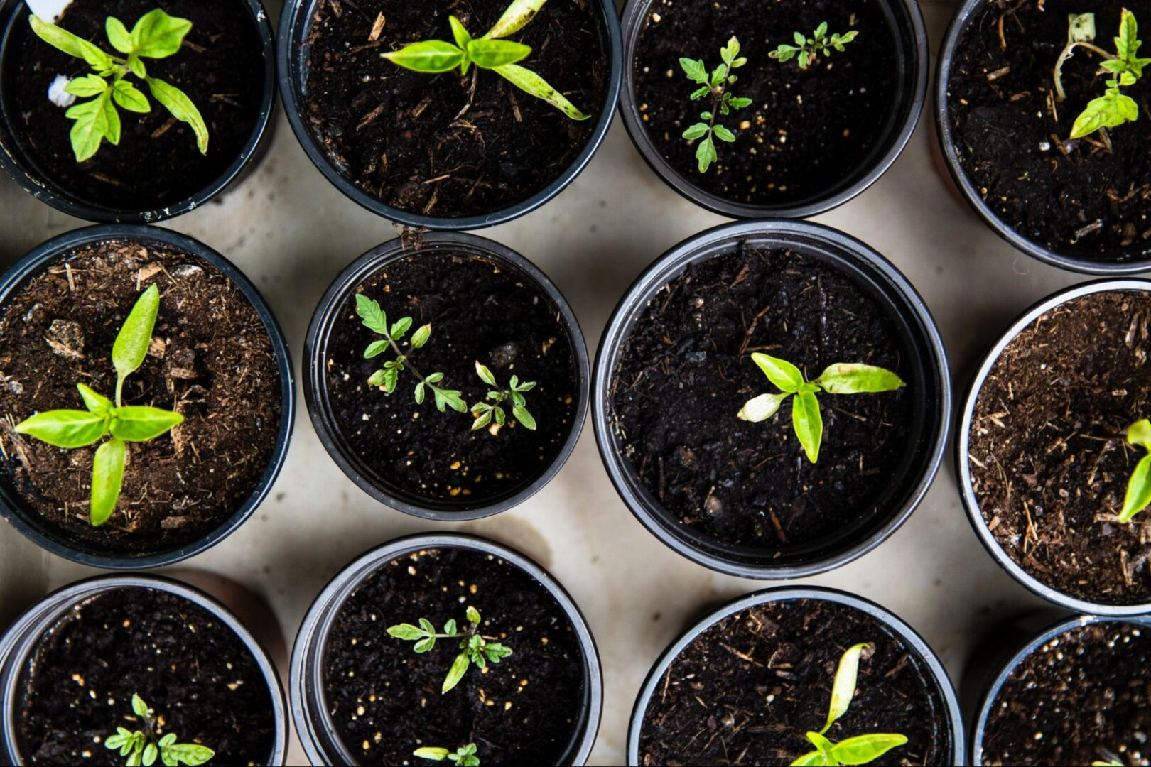 Seedlings, find the best garden shops in Franklin, TN, Brentwood and Williamson County, TN on FranklinIs, gardening tips for gardeners and more!